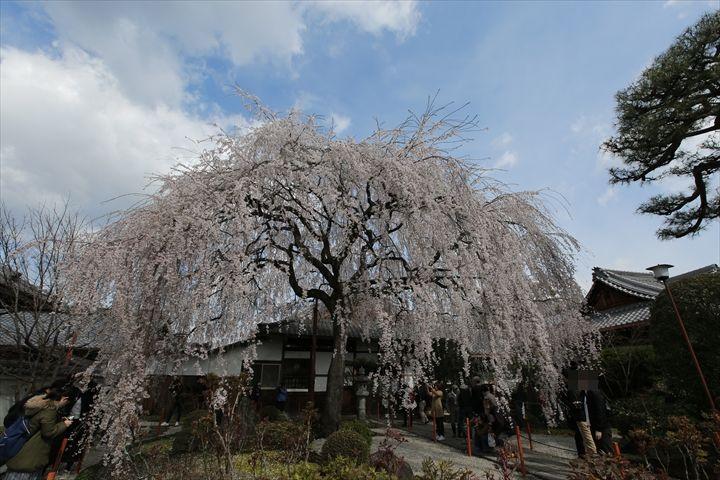 本満寺 桜情報