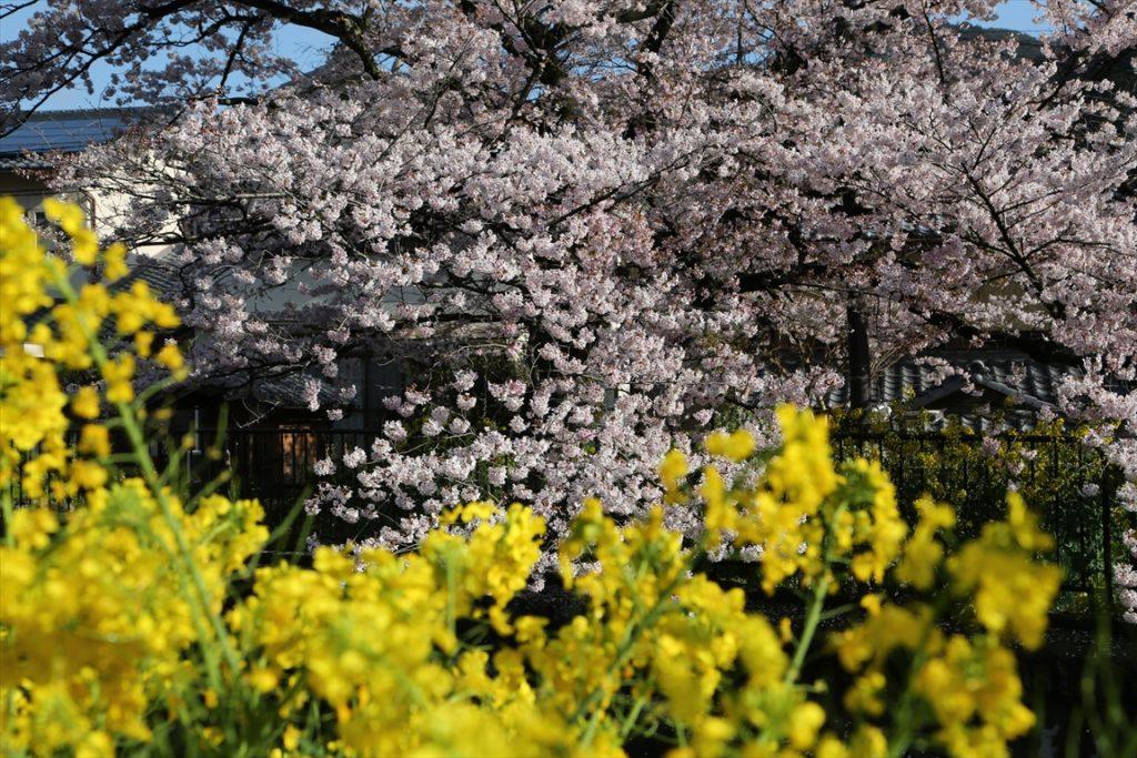 山科疎水 桜