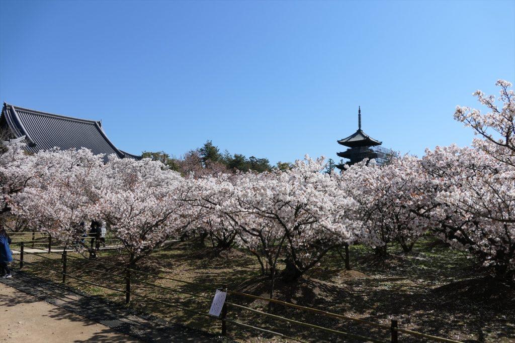 仁和寺 御室桜 満開