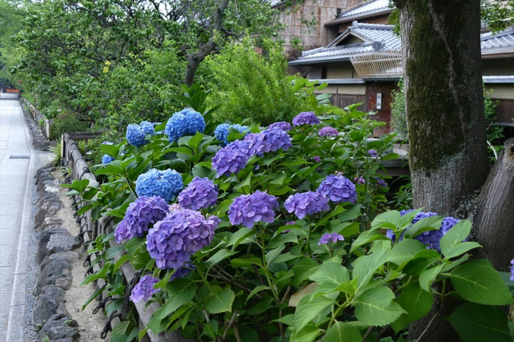 白川 紫陽花