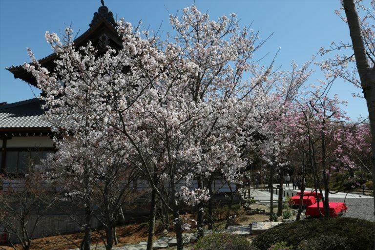 将軍塚青龍殿 桜