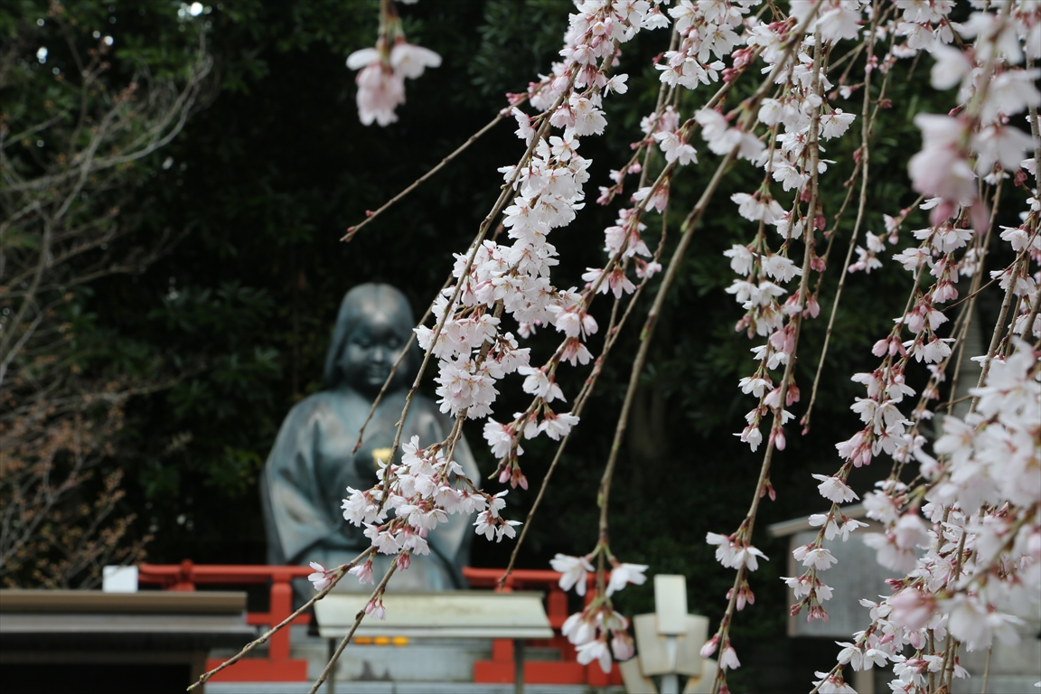 千本釈迦堂 桜