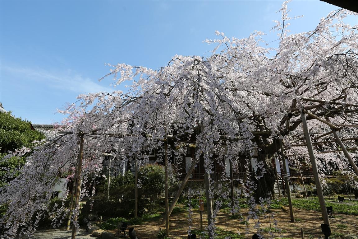 毘沙門堂 桜