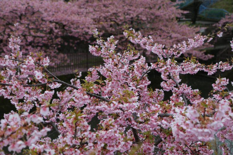 淀 河津桜