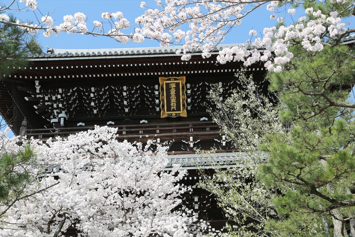 金戒光明寺 桜