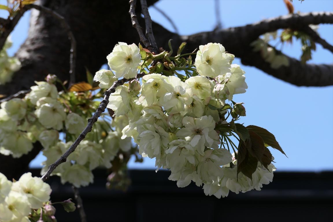 キザクラカッパカントリー 桜