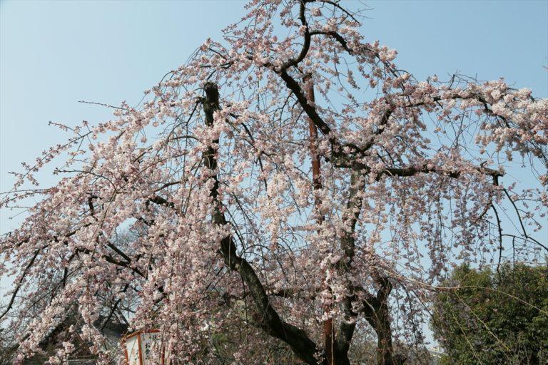 長建寺 桜