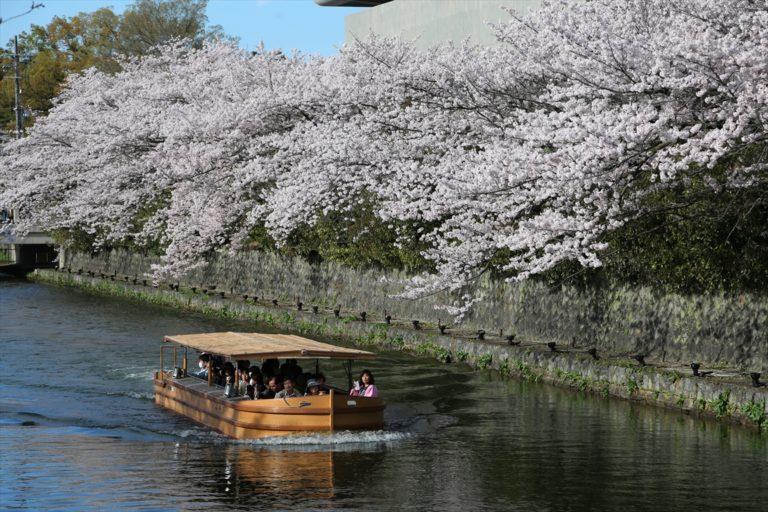 岡崎疎水 桜