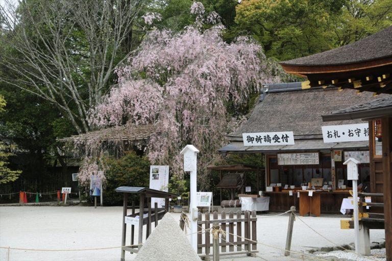 上賀茂神社 桜