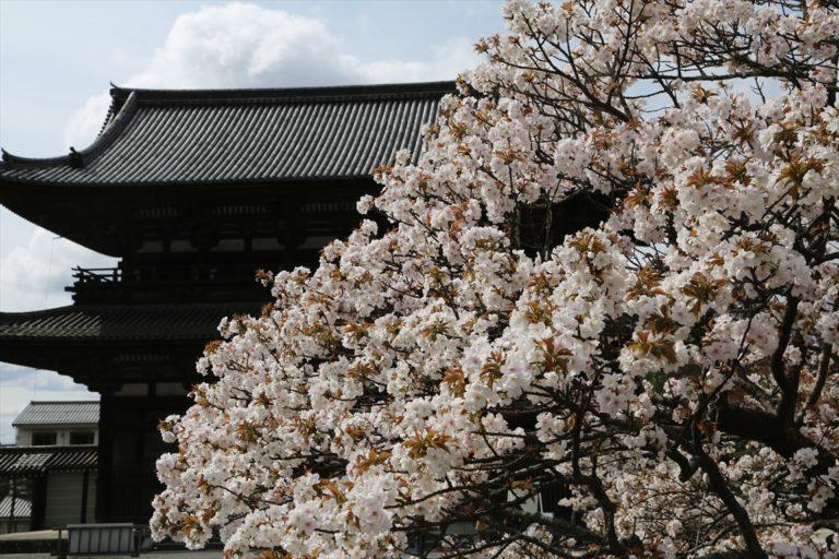 仁和寺 桜
