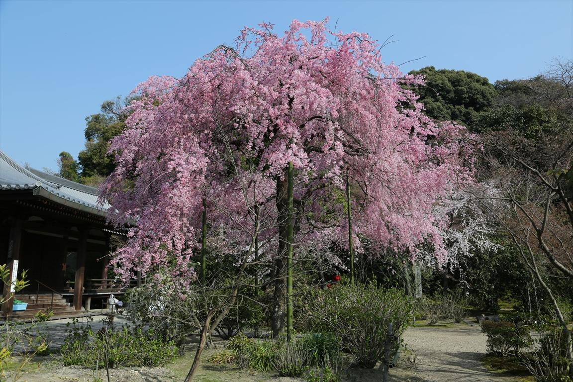 法金剛院  桜