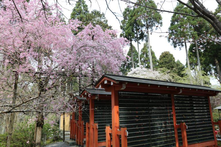 三千院 桜