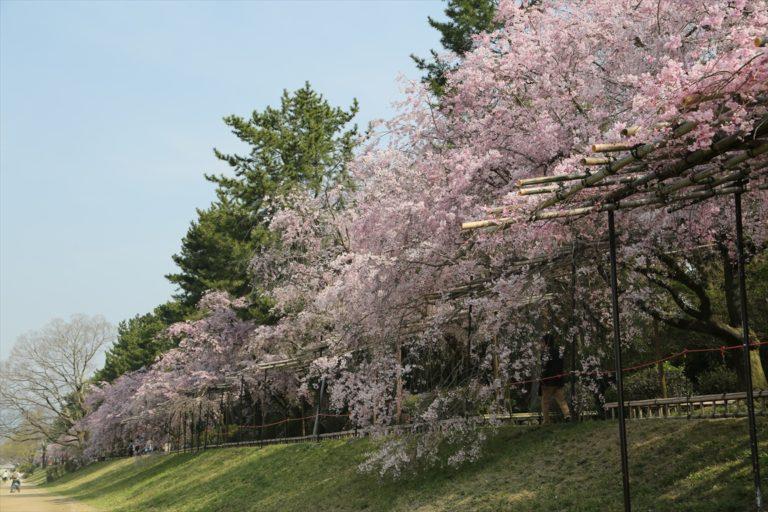 半木の道 桜