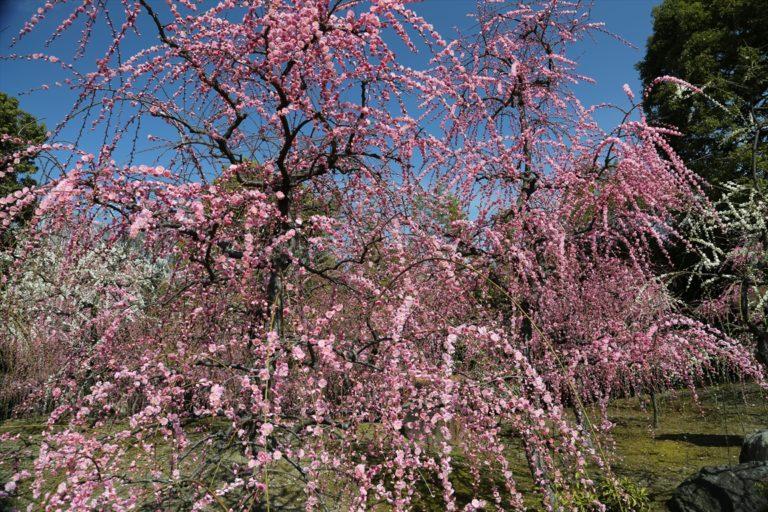 城南宮 しだれ梅と椿まつり