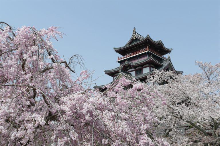 伏見桃山城 桜