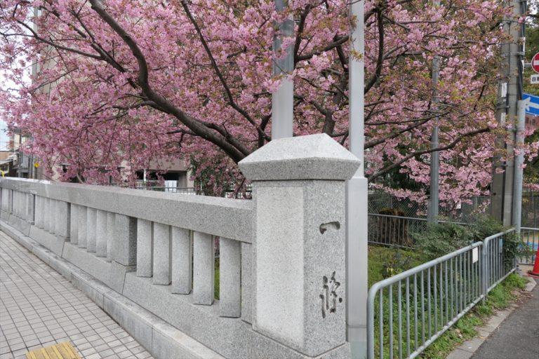 一条戻橋  桜